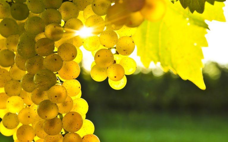 Chardonnay-grape-vineyards-champagne