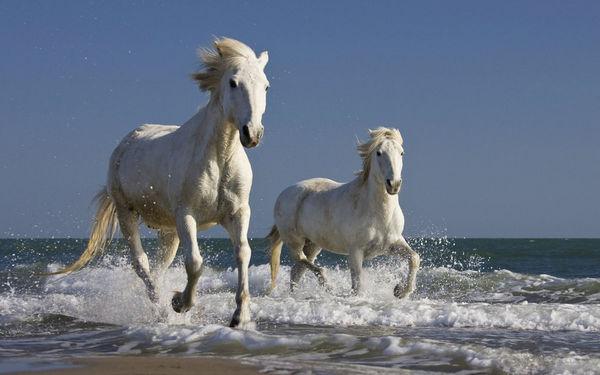 Заповедник Камарг (Camargue), белый лошади камарга